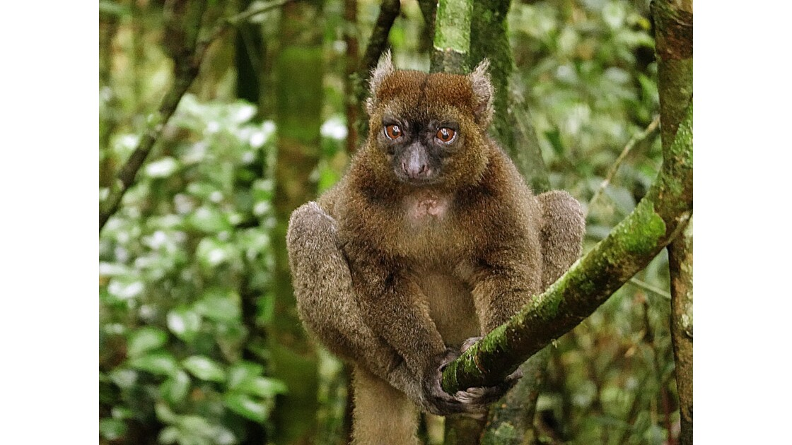 Madagascar Parc de Ranomafana Hapalemur aureus 1