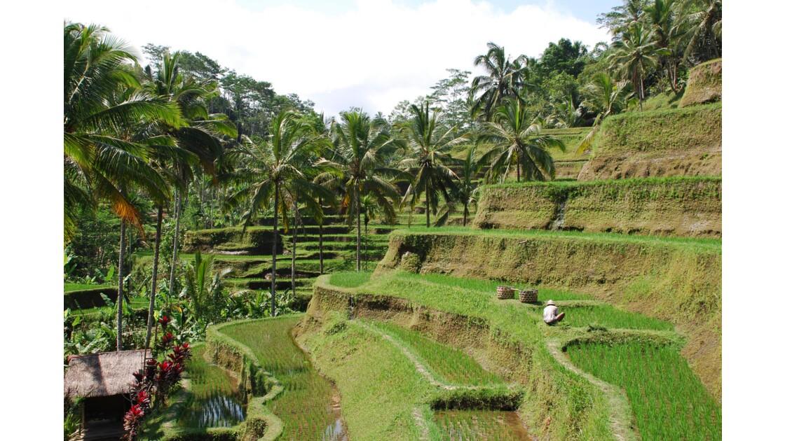 Entretien des rizières