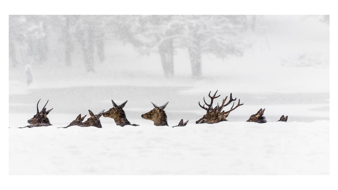 biches et cerfs dans la neige
