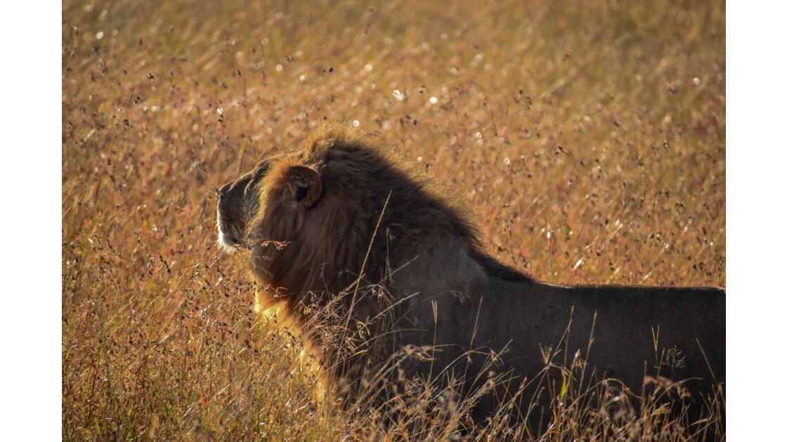 Lion au lever du soleil, Masai Mara