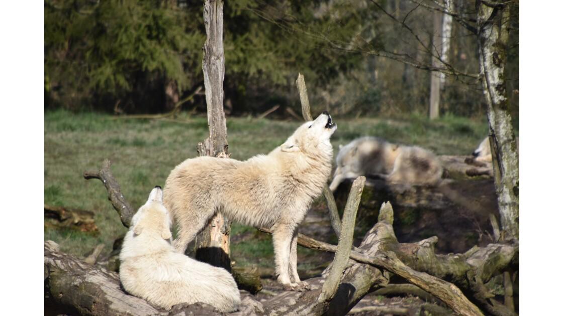 Sérénade de loups