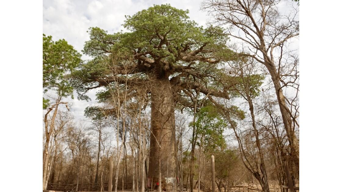 Madagascar  Piste de Morondava Baobab sacré 1