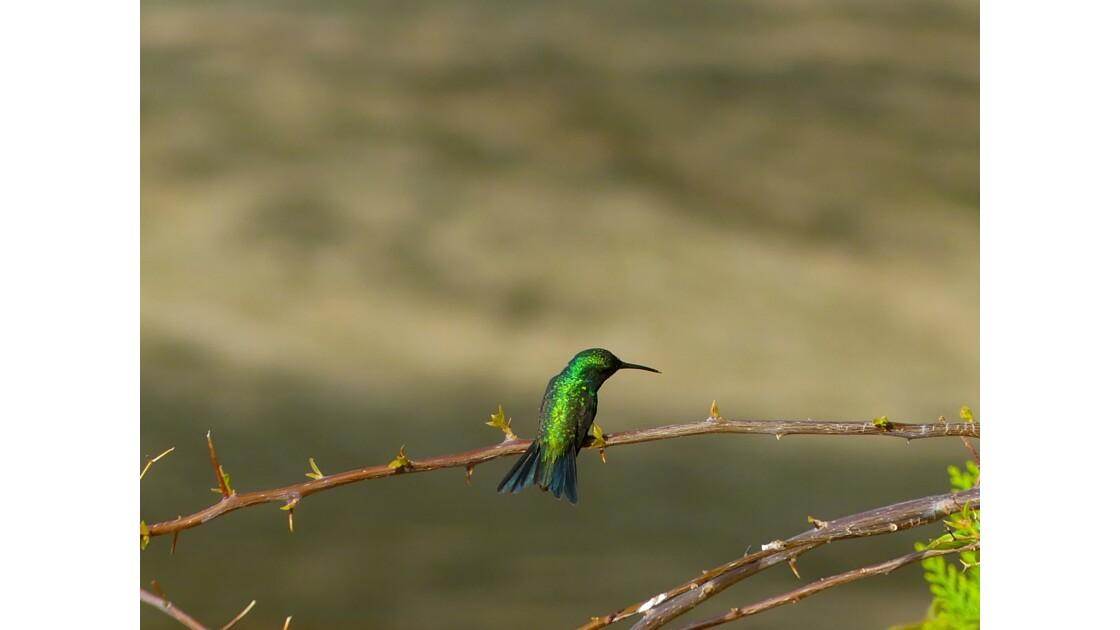 Colibri de la Tatacoa