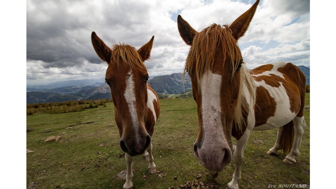 Les Pottoks ( cheval Basque)
