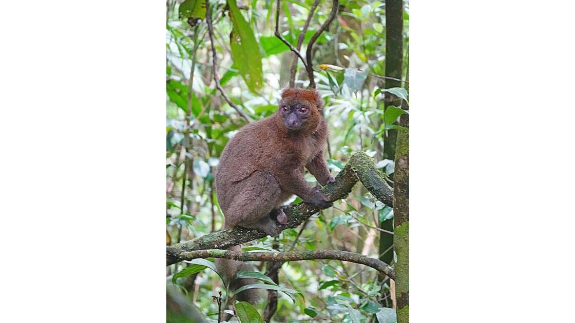 Madagascar Parc de Ranomafana Hapalemur aureus  2