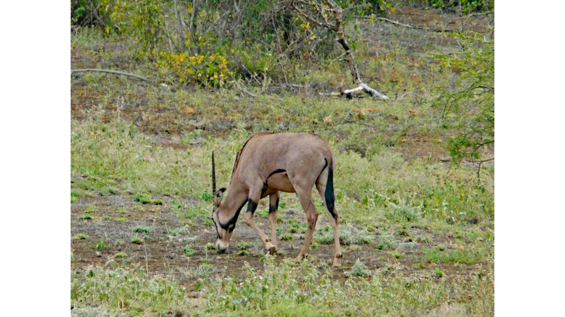 Kenya Tsavo Ouest Oryx