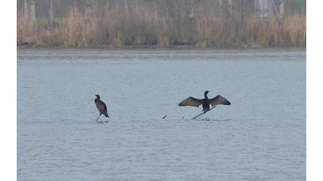 dispute de cormorans