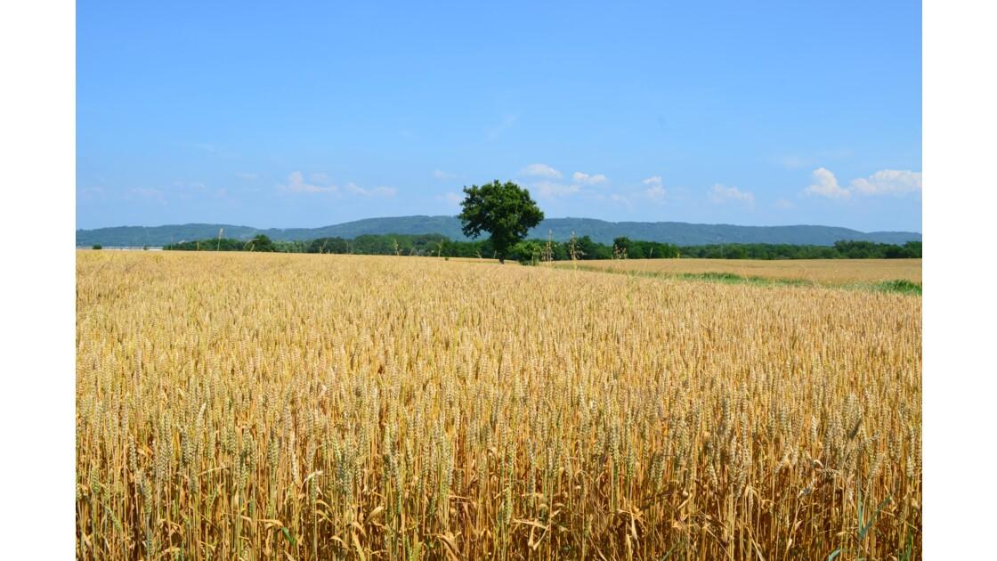 Un été paisible auprès d'un champ de blé