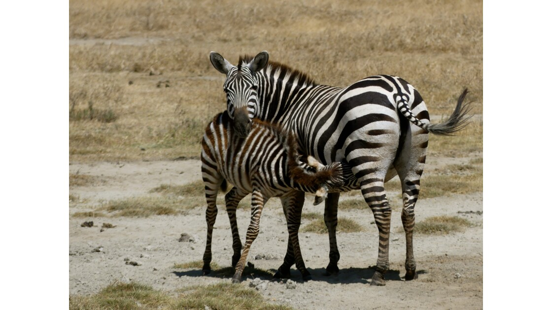 Lovely zebras in Serengeti