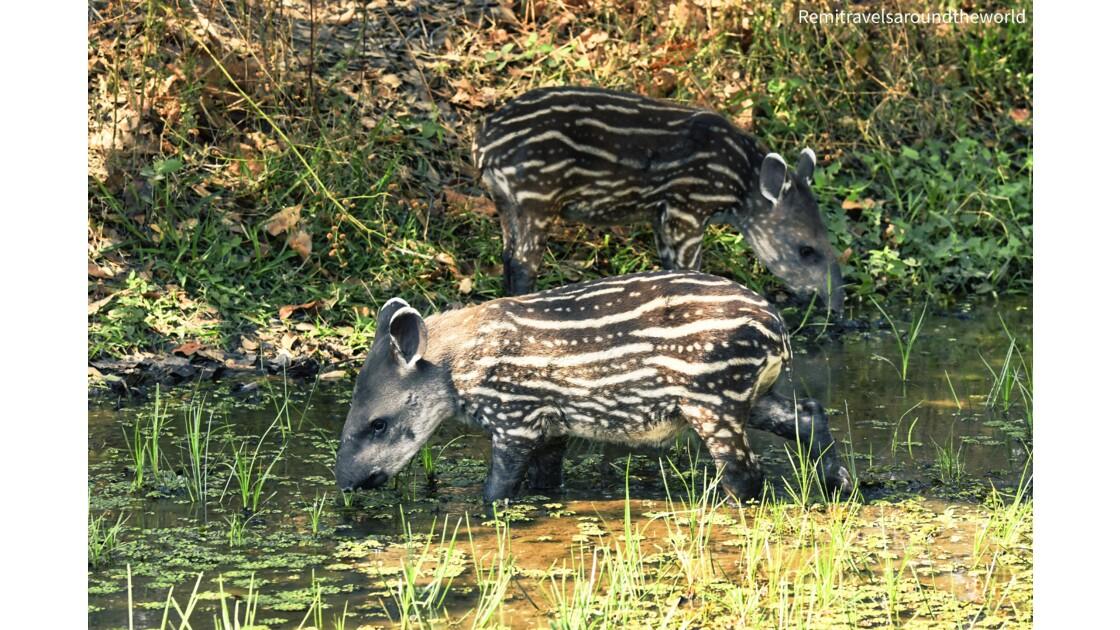 À la découverte des animaux du Pantanal, Brésil