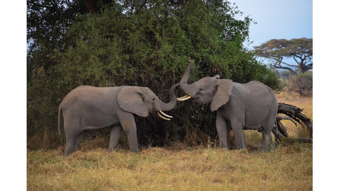 Elephants qui jouent, Amboseli