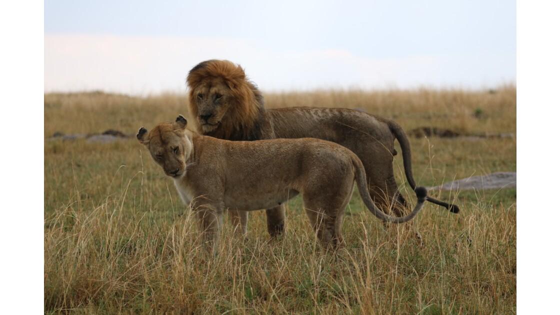 Couple de lions