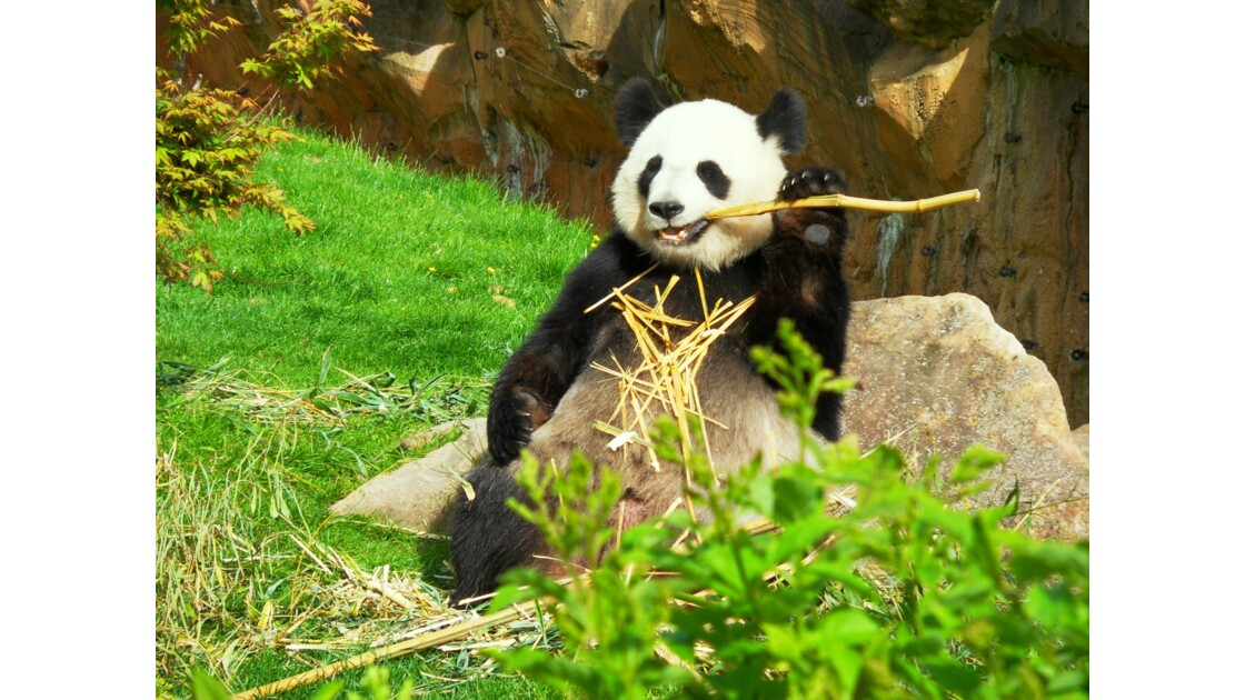 Panda en plein repas au zoo de Beauval