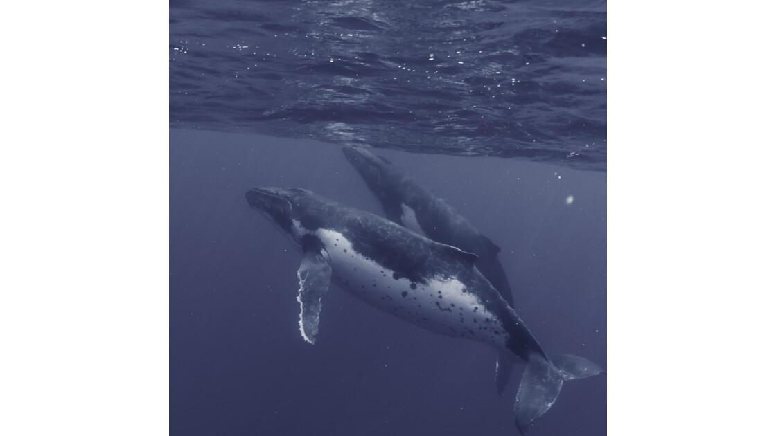 Les baleines à bosse, ces créatures mystérieuses des océans