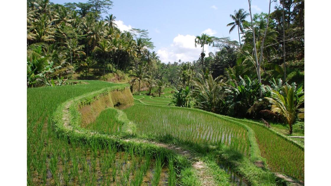 Rizières de Tegal Lalang
