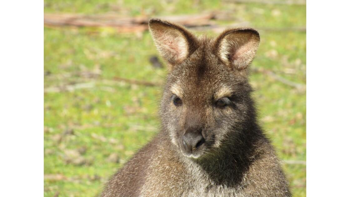 Un wallaby en Tasmanie