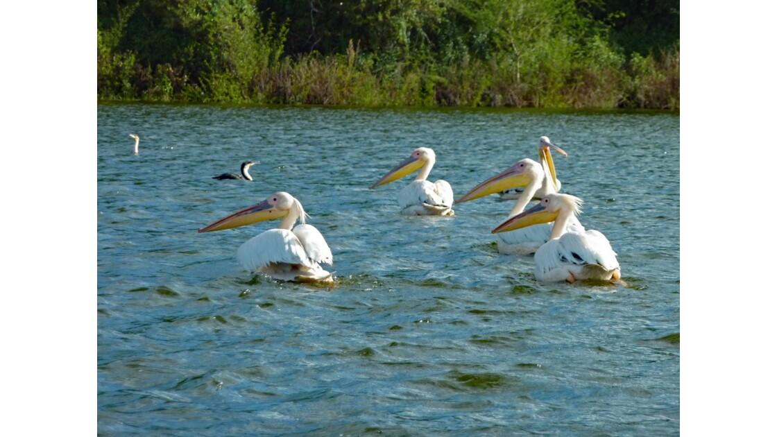 Kenya Lac Naivasha Pélicans 3