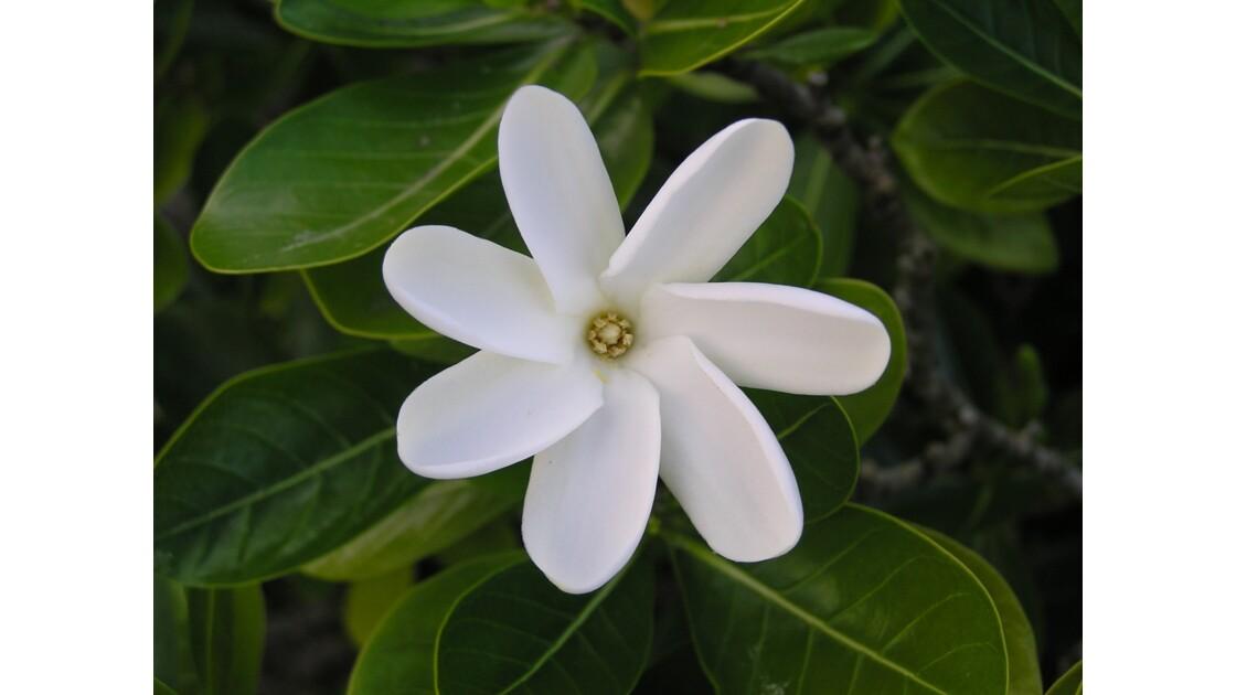 Flore polynésienne