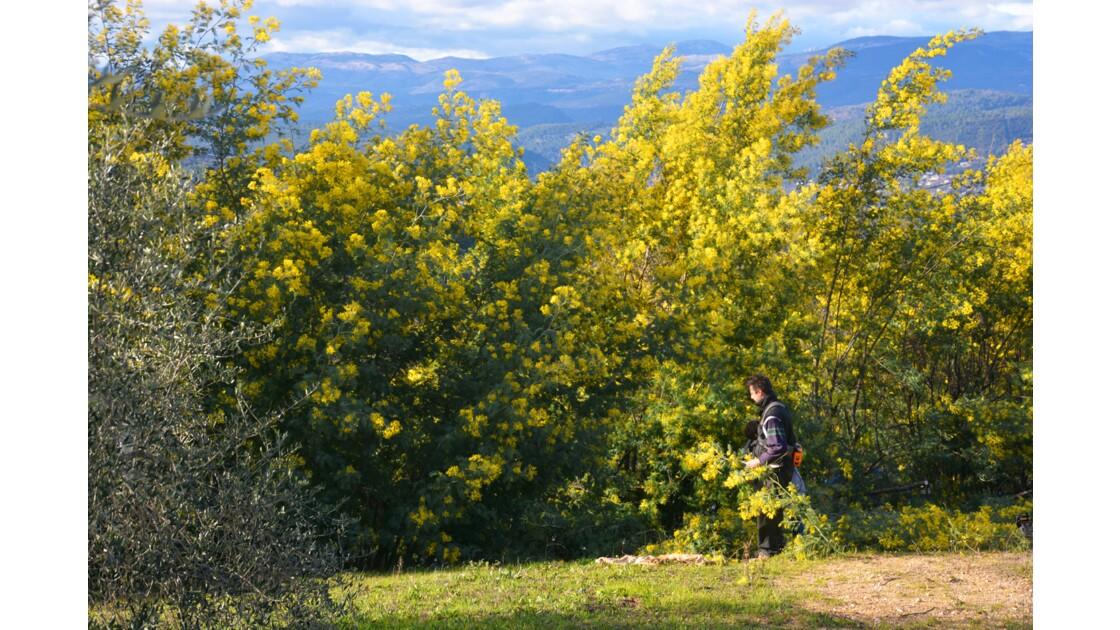 Mimosa massif du Tanneron Var