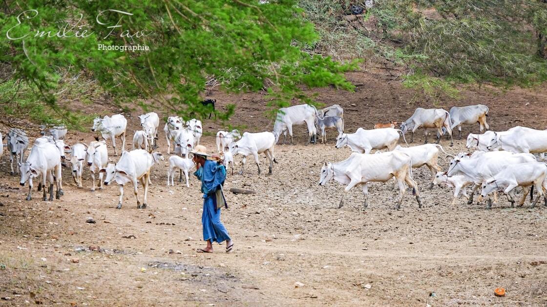 Paturage en Birmanie