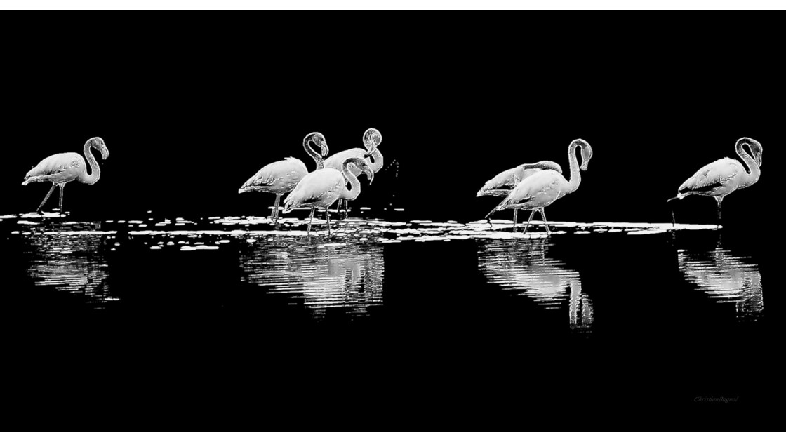 Flamants. ( reflection )