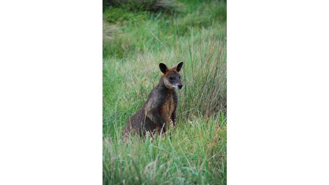 Kangourou sur Philip Island