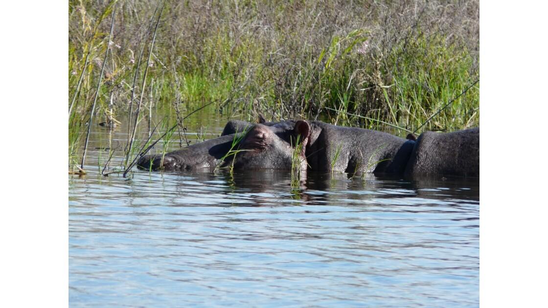 Kenya Lac Naivasha Hippopotame 2