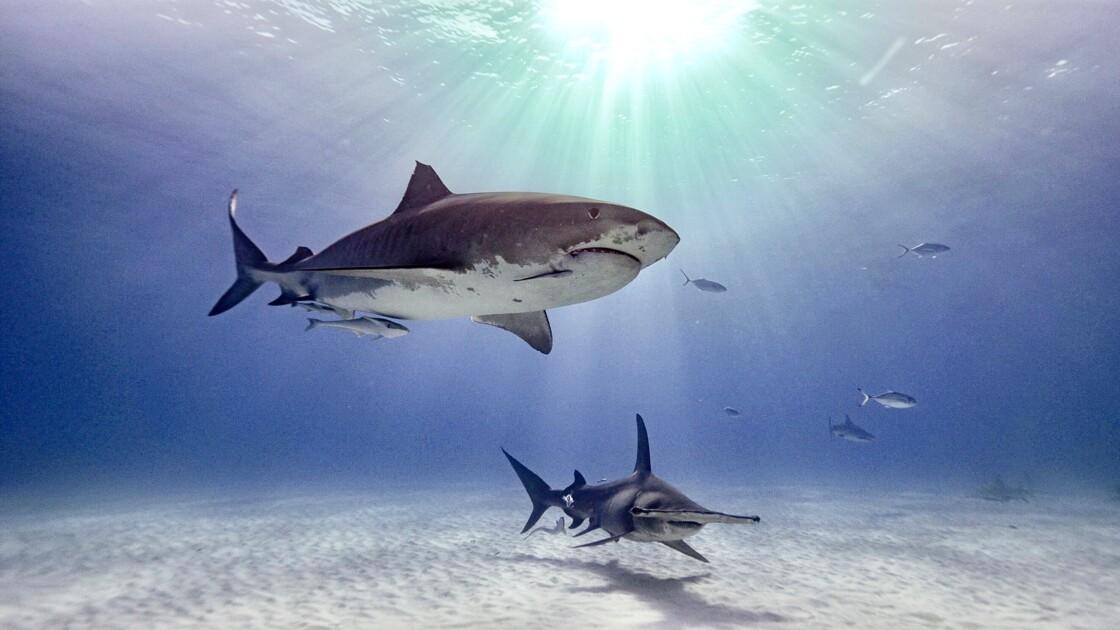 Bahamas l'île aux requins