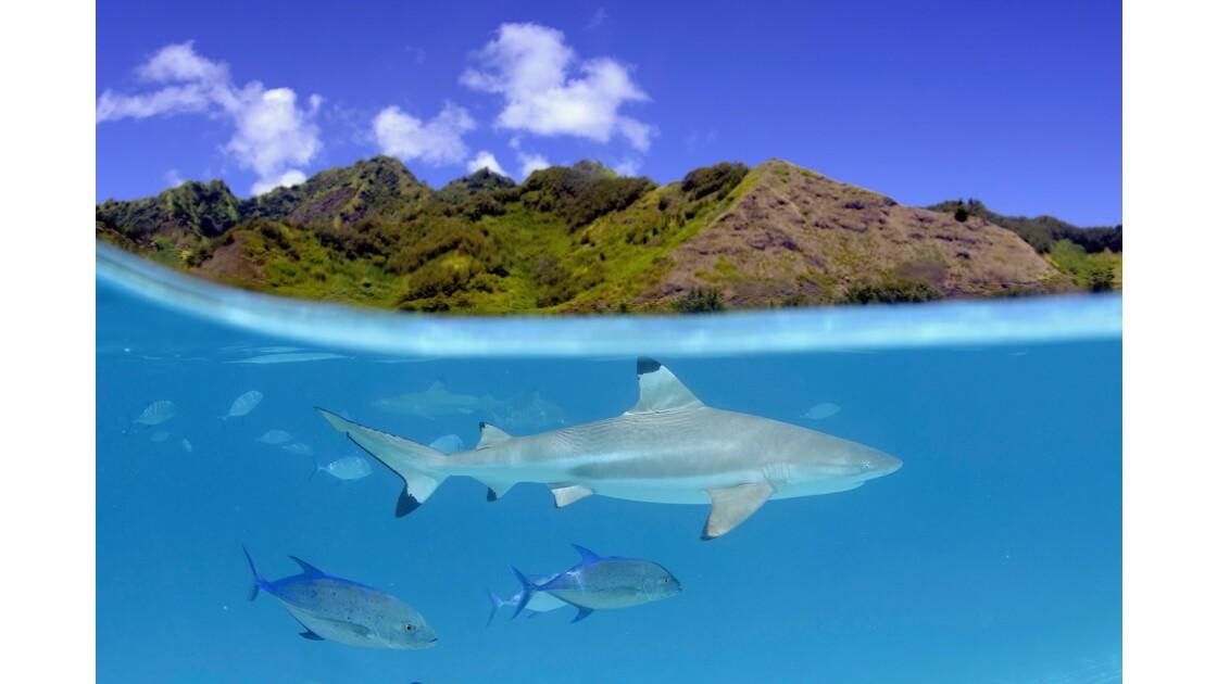 Les requins, gardiens de la santé des océans