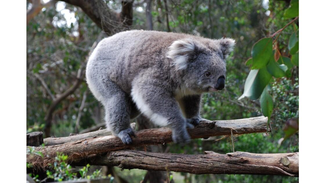 Koala sur Philip Island