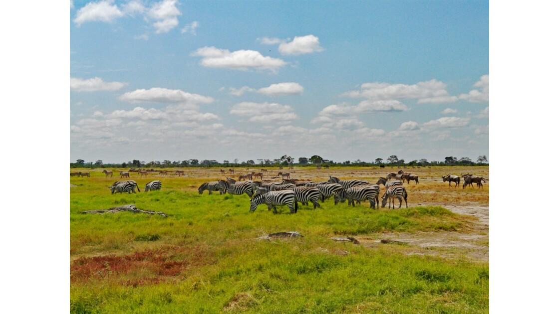 Kenya Parc d'Amboseli Zèbres de Burchell 2