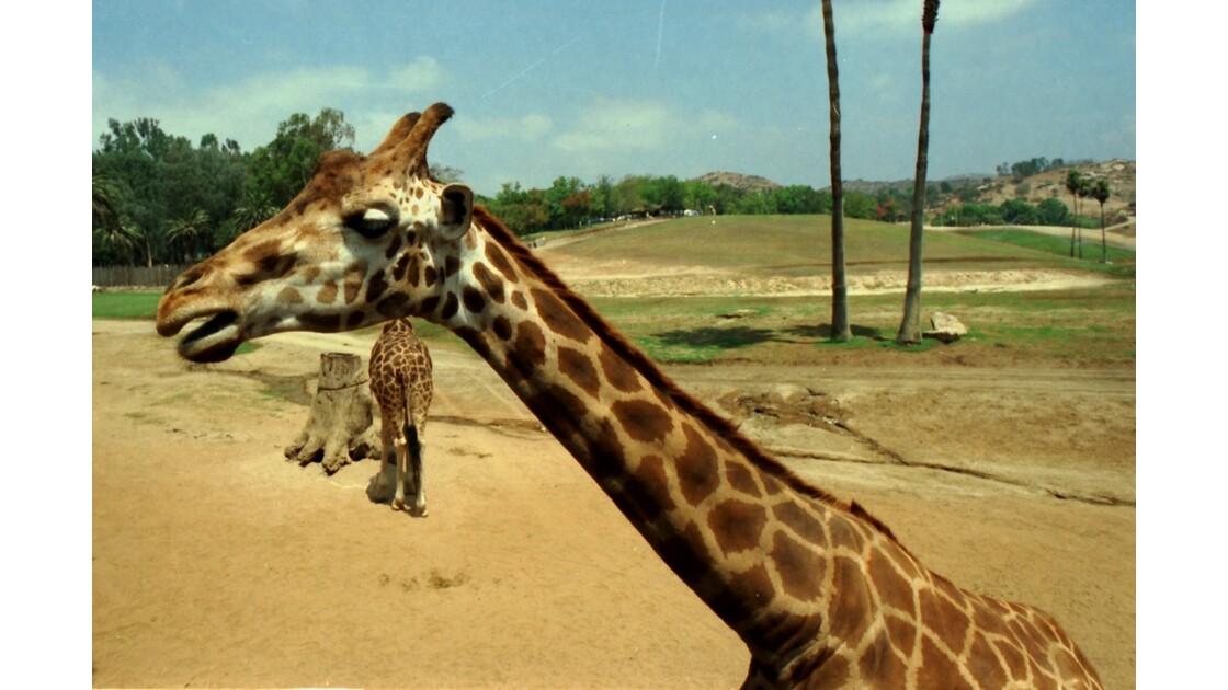 San Diego Zoo Safari Park Les Girafes 3