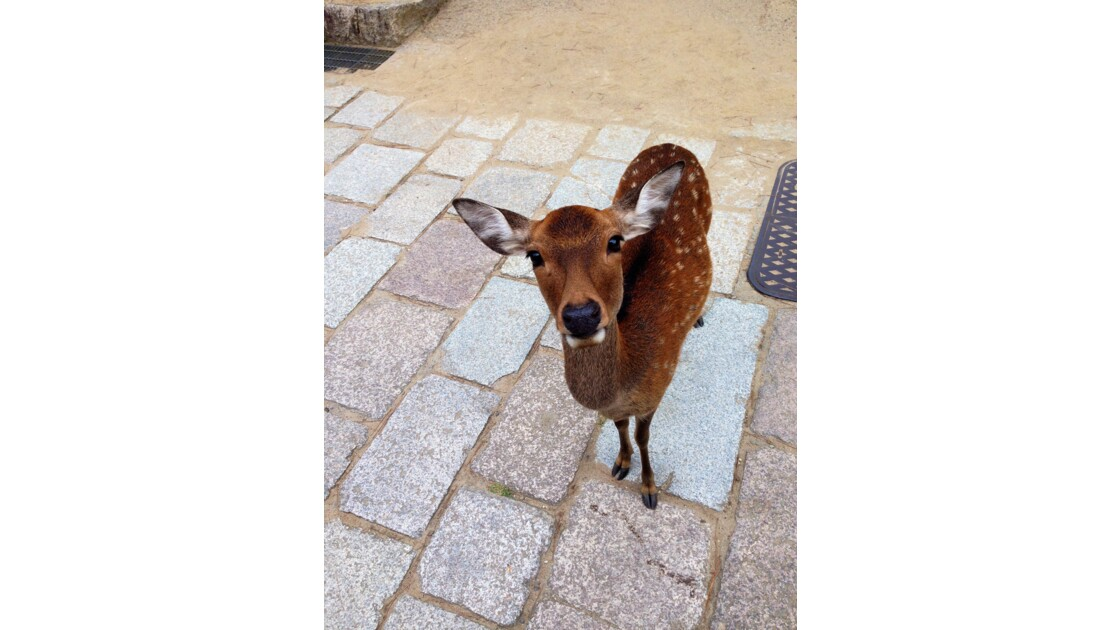 Japonese Bambi in Nara