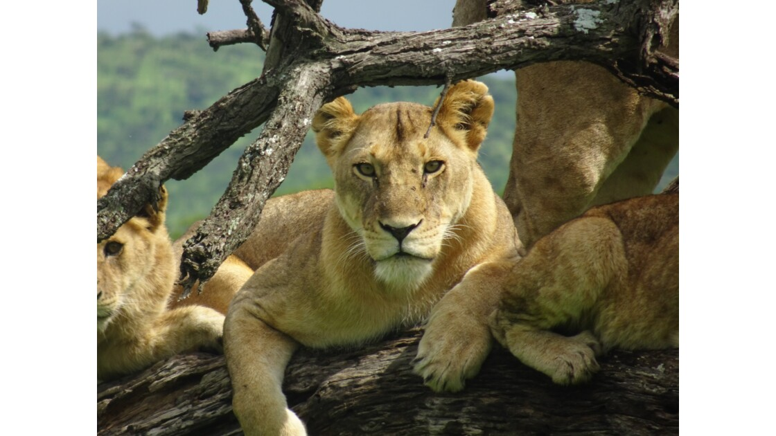 Lionnes dans un arbre au Serengeti