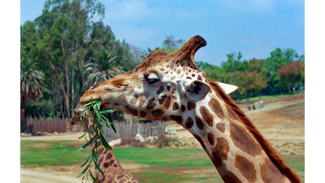 San Diego Zoo Safari Park Les Girafes 5