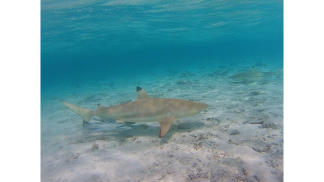 Gentil le requin
