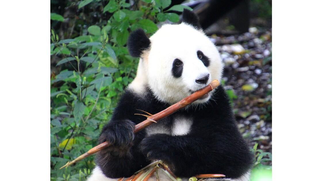 Sympa Panda
