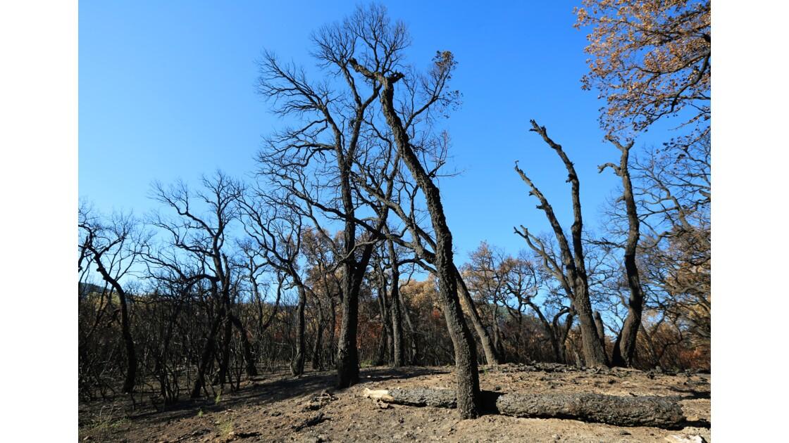 chênes brûlés dans les Maures