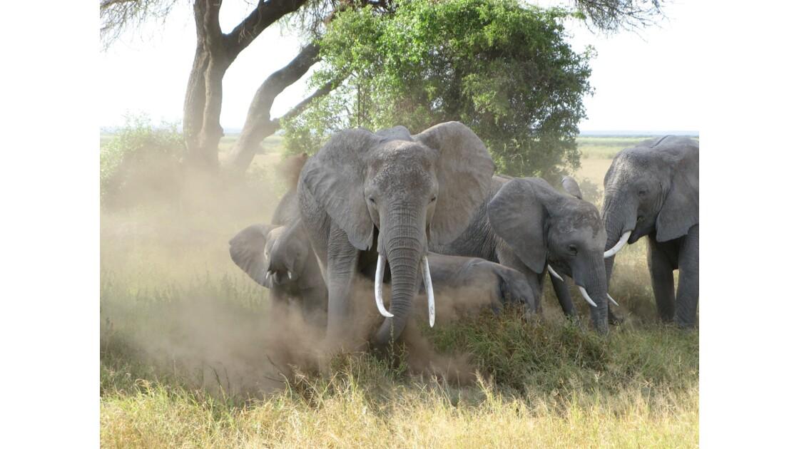 éléphants chargeant