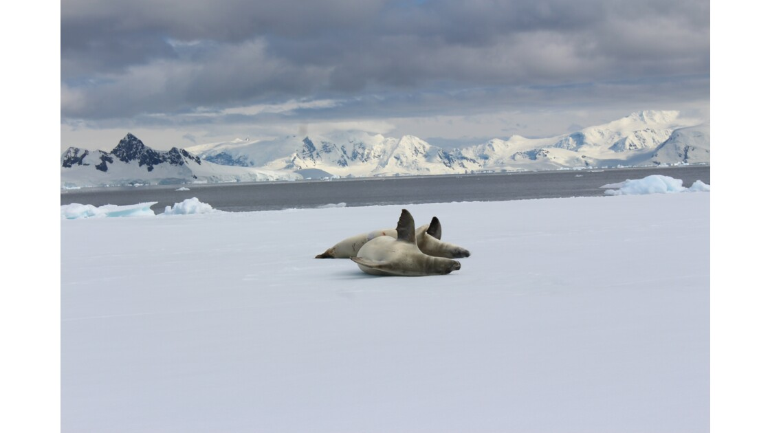 Phoques d'Antarctique