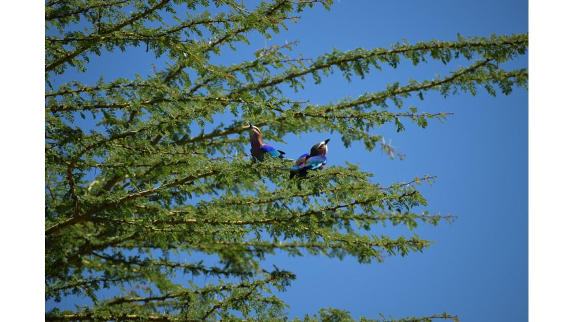 Oiseaux, Parc Nakuru