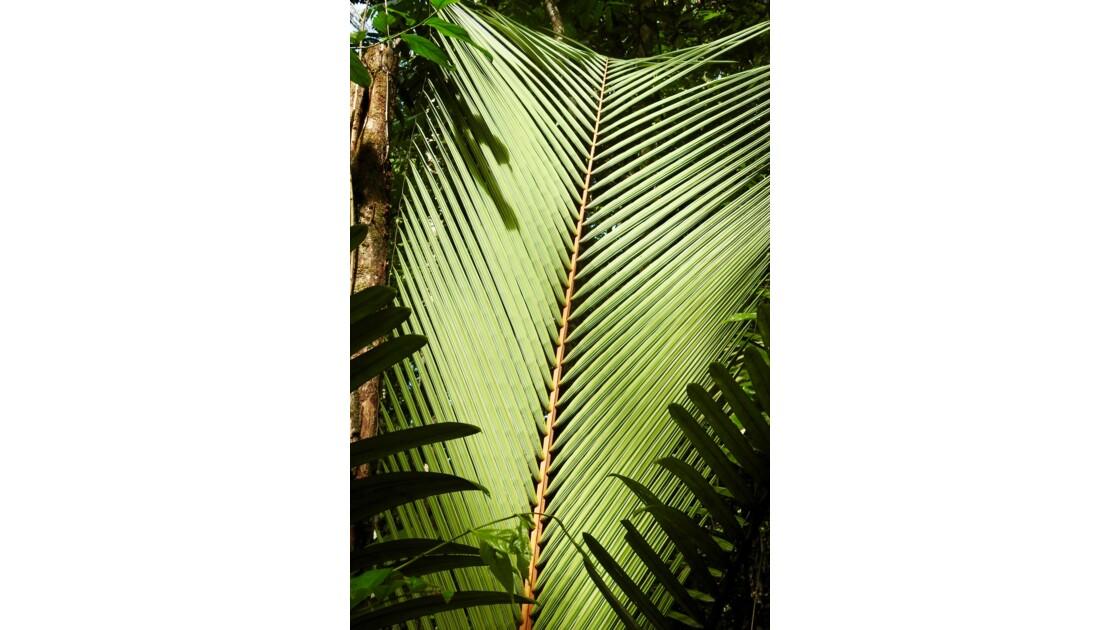 palmier dans la forêt guyanaise