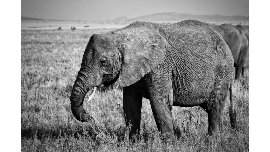 Eléphant du Serengeti