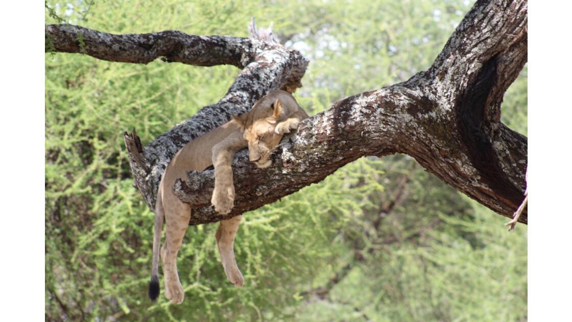 Lionne dans les arbres