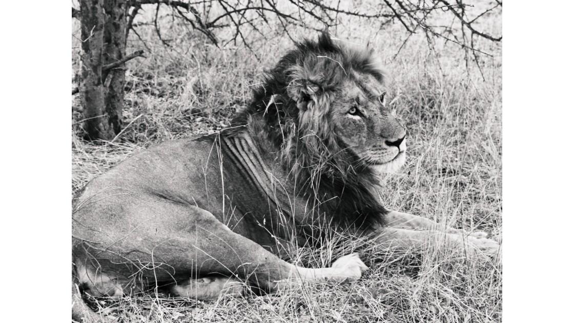 Majestueux lion dans la réserve privée de Balule au parc Kruger