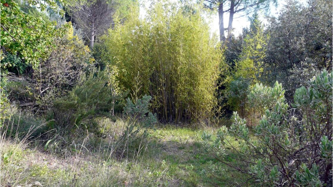 Bosquet de bambous