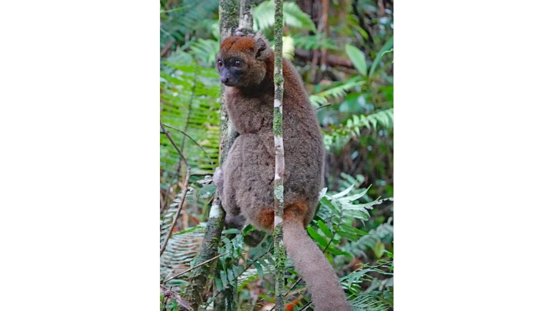 Madagascar Parc de Ranomafana Hapalemur aureus  6