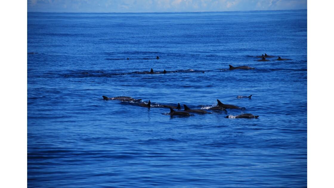Colonie de dauphins