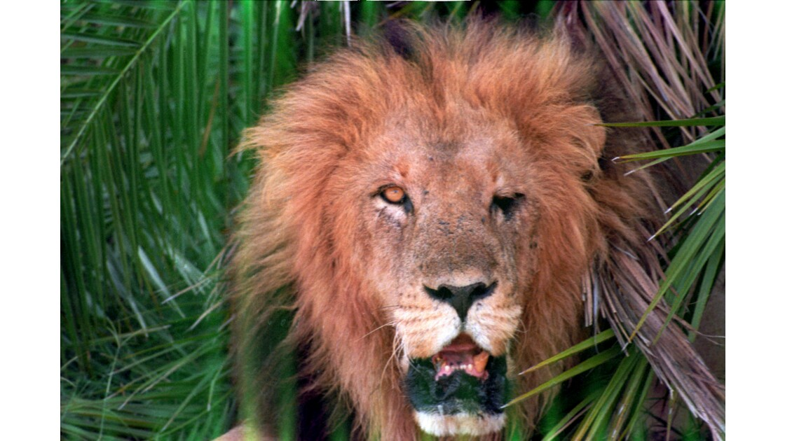 Lion parc des Virunga
