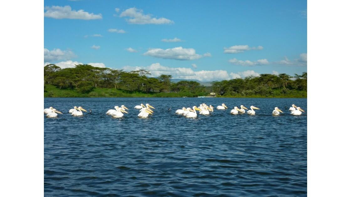 Kenya Lac Naivasha Pélicans 2